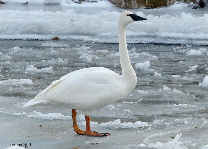 Rare Leucistic Trumpeter Swan At Bluffers Park