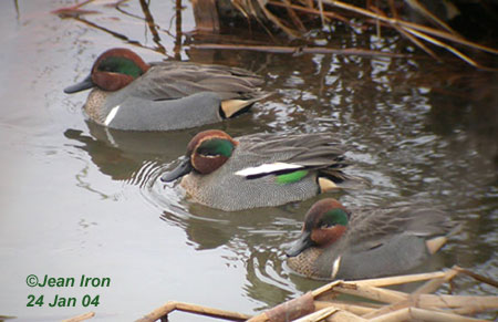 Green Winged Teal Male And Female